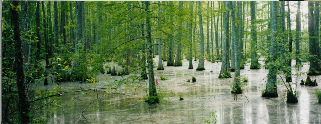 Wolf-River-swamp-North-Mississippi