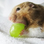 hamster eating grape