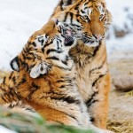 Kissing tiger cubs