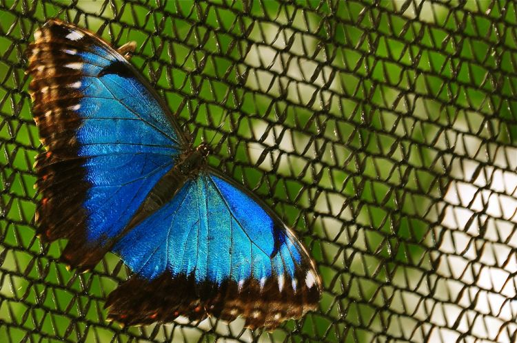 Morpho peleides (blue morpho butterfly)