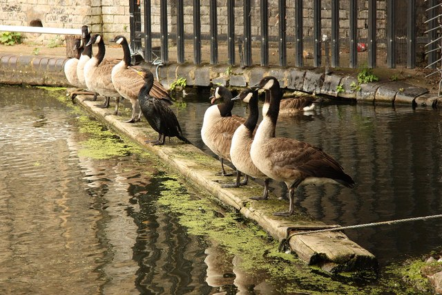 Canada Geese lined up under Ladbrooke Grove Bridge, with a Cormorant for company ... apparently a common sight on this part of the Grand Union Canal.