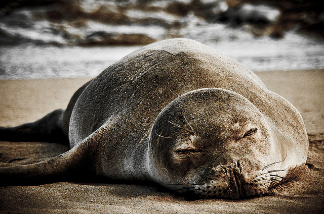 Sleeping Hawaiian Monk Seal